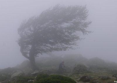 L'arbre tordu du col de St Pierre. P1320571